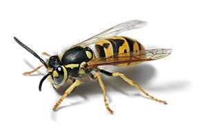 allergie aux venin d'hyménoptères